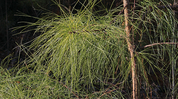 Fusiform rust disease easily infects loblolly pines