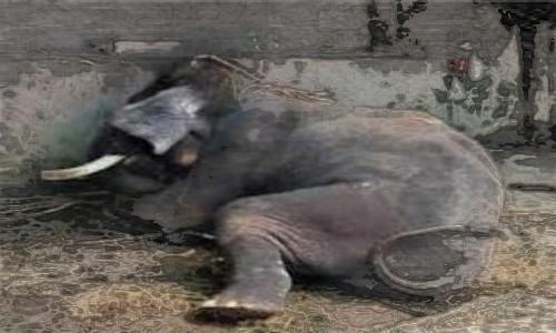 Satu Orang Tewas Akibat Amukan Gajah