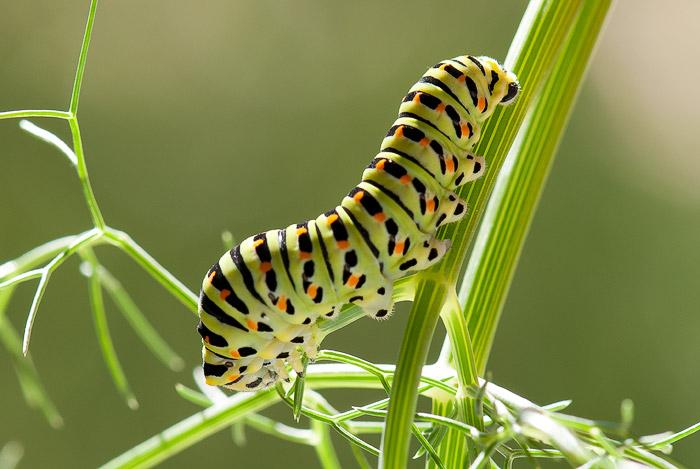 Resultado de imagen para larva de la mariposa