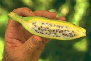 Musa balbisiana espécie nativa de banana e suas sementes