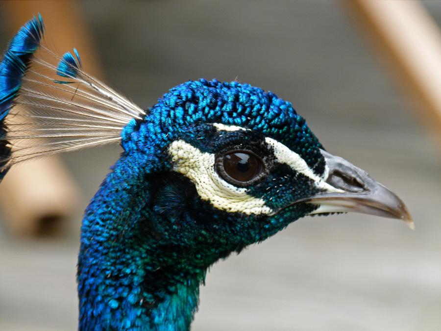 Face Eyes Photography Nature Peacocks Birds Colorful: Life, Birding, Photos And Everything: Super Zoobirds