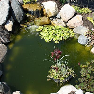 green water algae in backyard pond