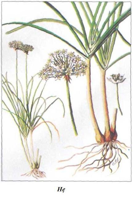 Hình ảnh Cây HẸ - Allium odorum - Nguyên liệu làm thuốc Chữa Ho Hen