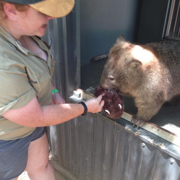 """Chú gấu túi """"lớn tướng"""" mà vẫn thích chơi gấu bông"""