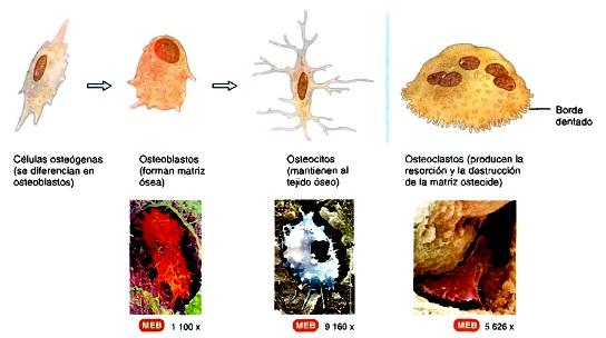 Sistema esquelético tejido óseo histología
