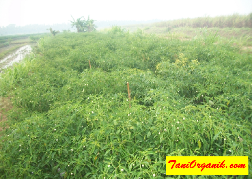 Kiat Mencegah Hama dan Penyakit Budidaya cabai, Plus Tumbuh Subur (Bpk Tholib, Yogyakarta, 2015)
