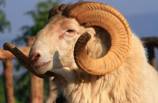 Penggemukan domba pejantan Garut