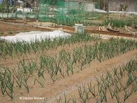 Growing green onions in a community garden - Naruse, Machida, Japan