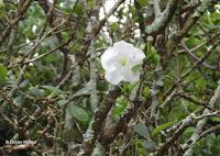 Princess of the night white flower - Ho'omaluhia Botanical Garden, Kaneohe, HI