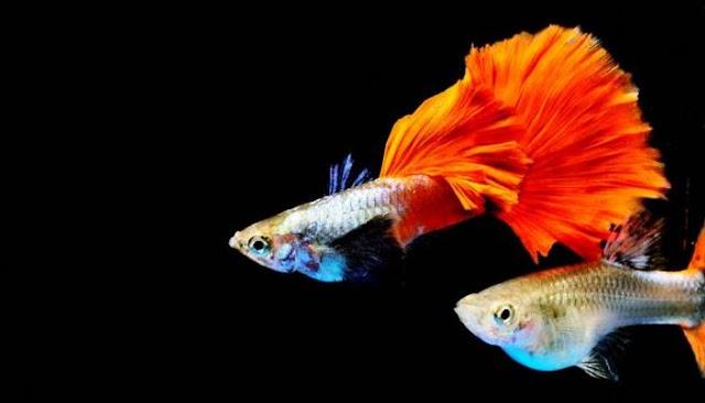 Jenis Jenis Ikan Guppy