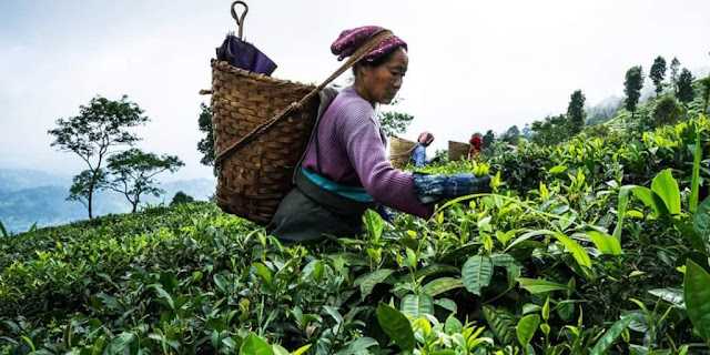 Darjeeling: Women's Exploited Labour Behind Our Cups Of Tea