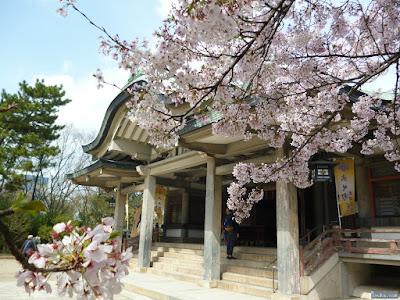 染井吉野越しの拝殿