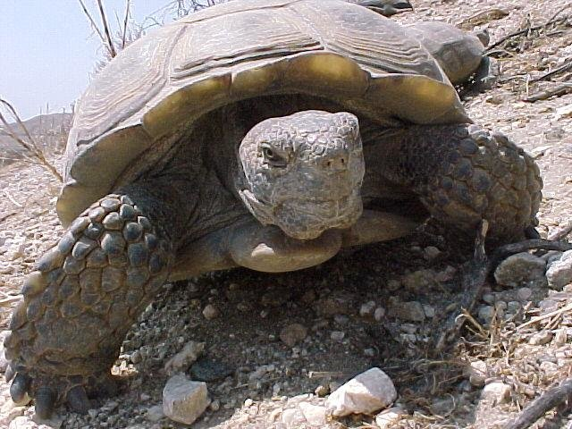 Turtle species in serious decline: Broad ecological impacts