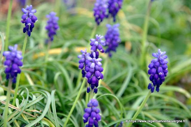 Fleurs de Muscari