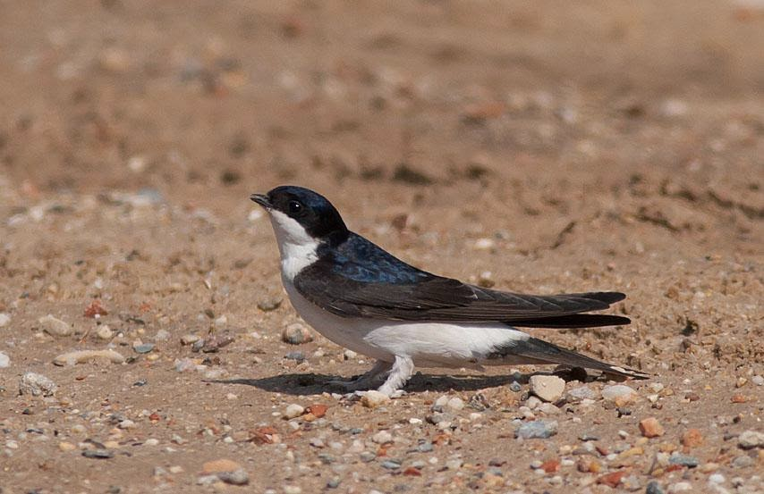 Northern House-martin