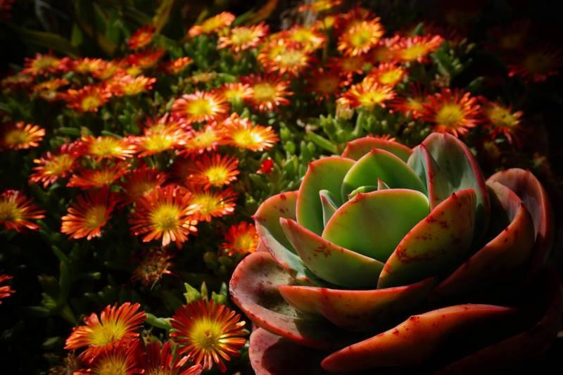 Echeveria y Delopserma nubigerum en jardin botánico Marimurtra