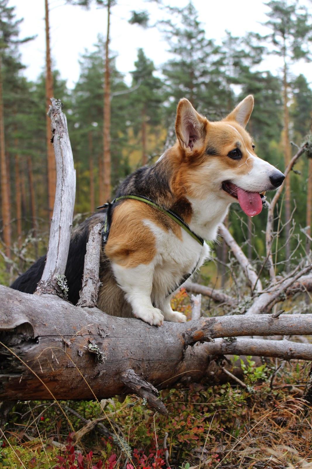 Koiraa Närästää