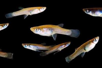 Gambar Ikan Kecil