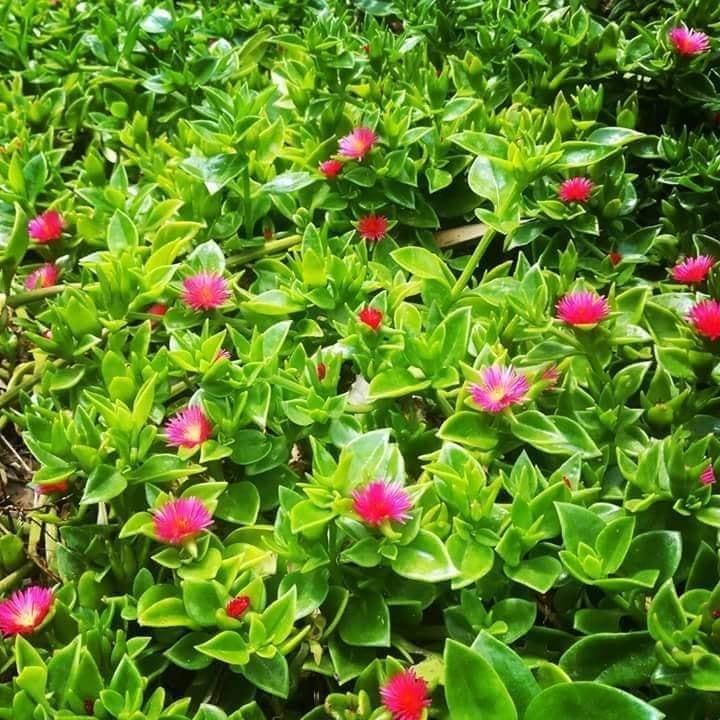 نبتة قطر الندى وطريقة التعامل معها