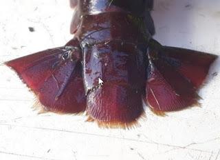 Afbeelding 2.4: staartplaten van rode Amerikaanse rivierkreeft na het aanbrengen van een merk. In: Reductie van een populatie rode Amerikaanse rivierkreeften in de Distelvinkplas van de Molenpolder