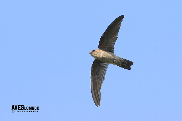 http://www.aveslombok.com/2016/09/walet-linci-cave-swiftlet-collocalia.html