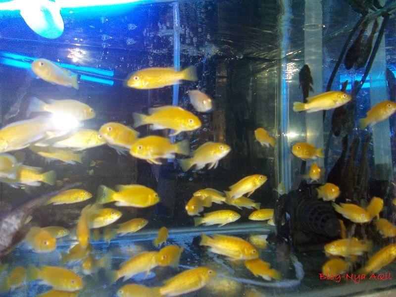 Gambar Budidaya Ikan Lemon Bisa Menjadi Peluang Usaha Bagi Anda