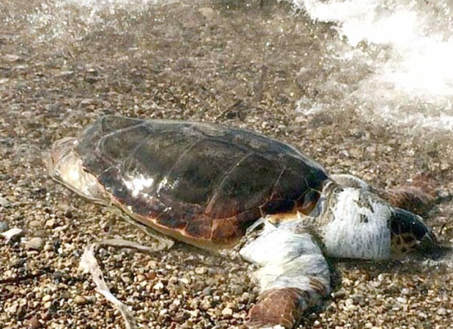 Νεκρή χελώνα καρέτα - καρέτα στην παραλία Οφρυνίου