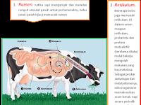 Sistem pencernaan pada hewan ruminansia-Materi Biologi Kelas XI IPA SMA - MA