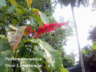Jual Pohon Werwesia | Tanaman Hias | warszewiczia coccinea
