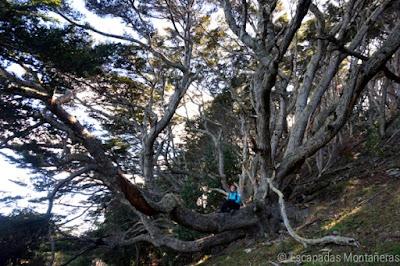 Árboles inmensos en el recorrido de Playa Larga, Ushuaia, Argentina.
