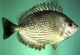 Jenis Jenis Ikan Baronang