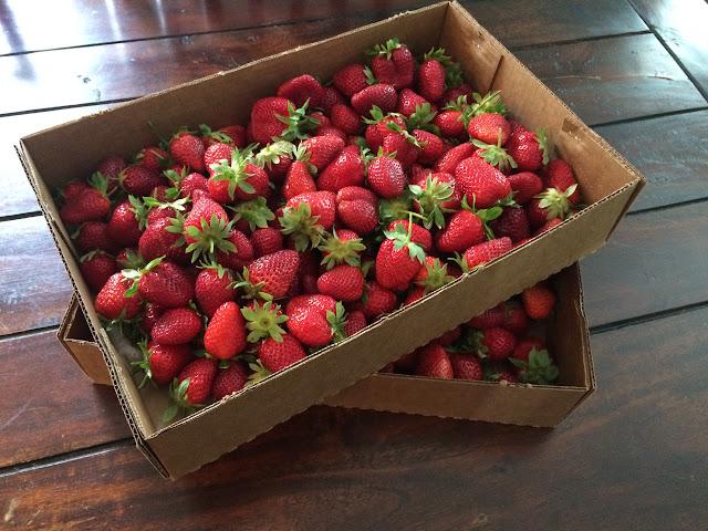 U-pick Strawberries at Wabi Sabi Farm outside of Charleston, SC | The Lowcountry Lady