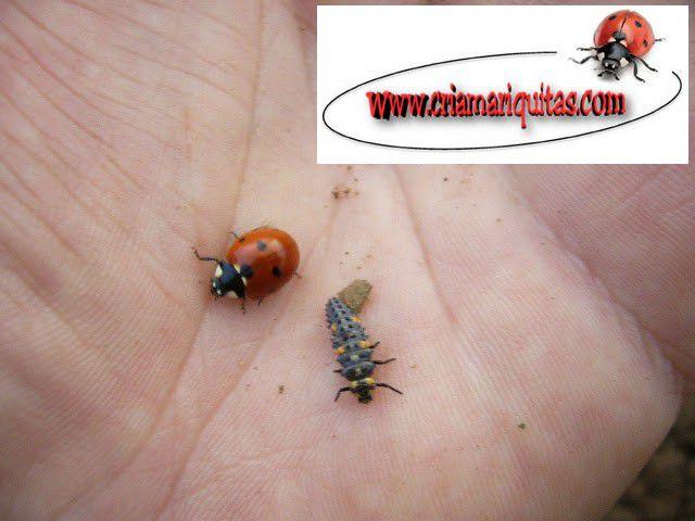 larva-mariquita-siete-puntos