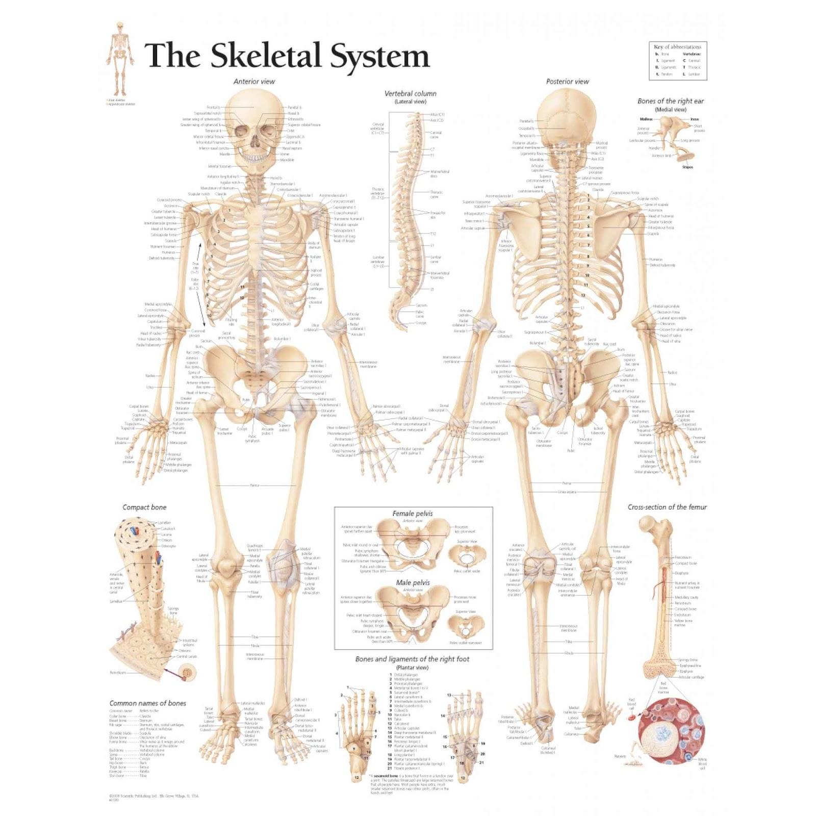 Human skeletal system diagram coordstudenti skeletal diagram ccuart Gallery