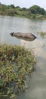 मलेनी नदी में तैर रहा मृत पशु सुबह से नगर परिषद को खबर होने के बाद भी नहीं निकाला