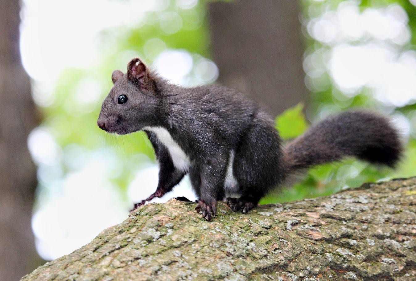 Víte, proč jsou veverky někde zrzavé a jinde černé?