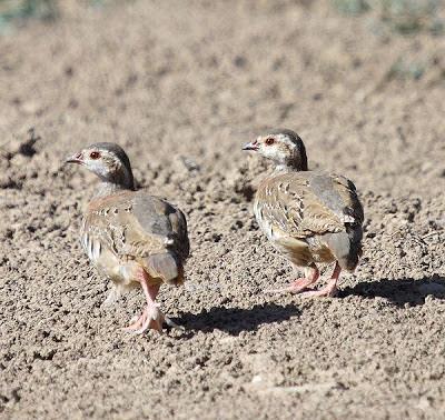 Juveniles de perdiz roja