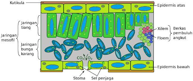 Bagian-bagian daun terdiri atas kutikula, mesofil, stoma, sel penyangga, xilem dan floem.