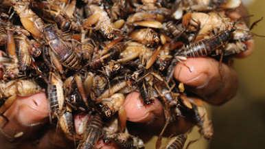Eating insects is common in many places of the world and insects will be the future food for human beings.