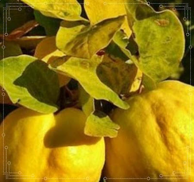 ceaiul din frunze de gutui recomandari beneficii contraindicatii