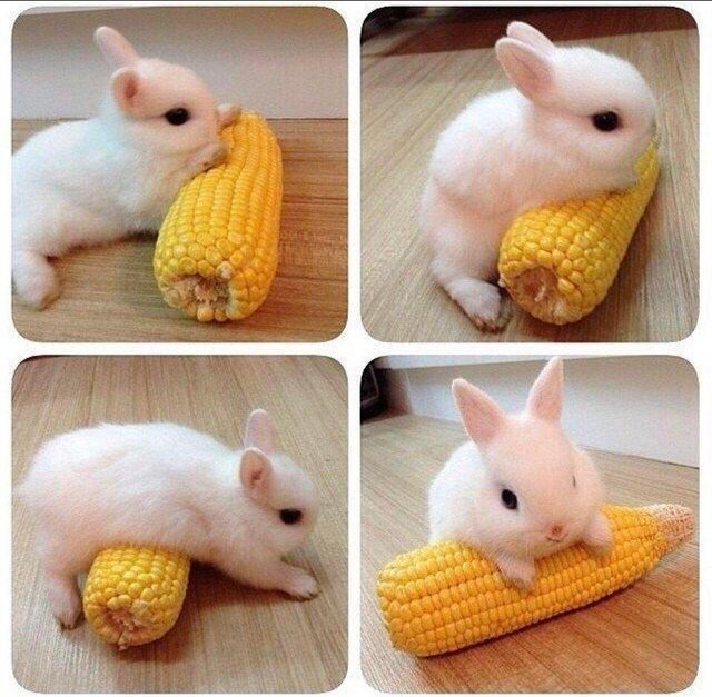 Just a bunny with his corn cob