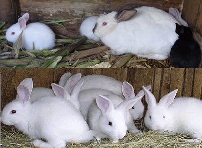 Images of Raising Rabbits in Pictures