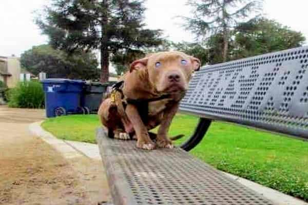 Owner Abused And Tied Blind Pit Bull To Park Bench And Left Her There For Days