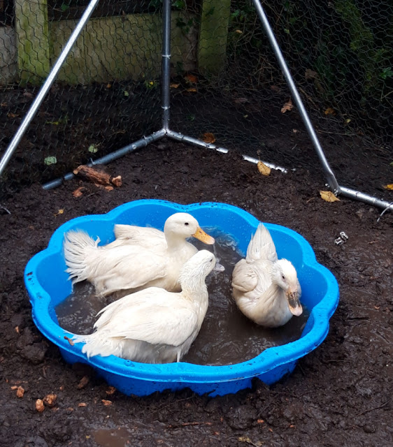 Three white ducks sitting in a blue paddling pool of dirty brown water