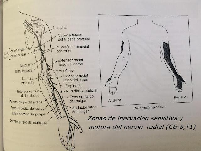 Nervio Radial : C6-8,T1