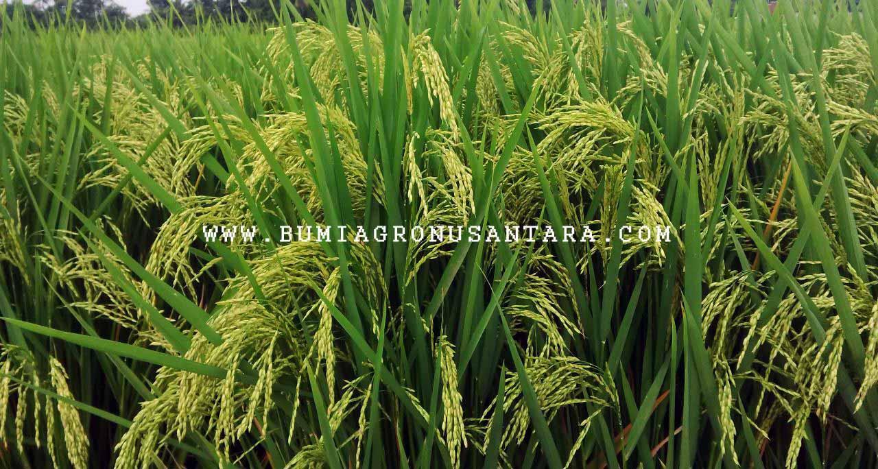 tinggi padi kalimasada, kelemahan padi kalimasada, budidaya padi kalimasada, varietas padi kalimasada, jarak tanam padi kalimasada, deskripsi padi kalimasada, spesifikasi padi kalimasada, umur padi kalimasada,