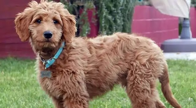 Aussiedoodle Dog Breed Info: Price, Characteristics, Aggressiveness & Facts