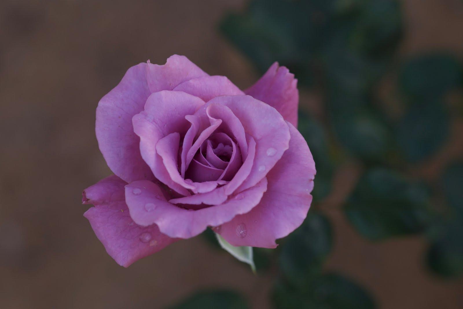 Desert Rose Ramblings