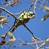 Aves do Brasil: periquito-de-asa-amarela, foto, vídeo e curiosidades