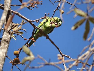 periquito dispersando sementes, dispersão, por que devemos preservar os pássaros, por que devemos preservar as aves, não caçar os pássaros, aves, birds, natureza, ornitologia, biologia, meio ambiente